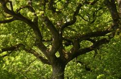 Spring tree in leaf. Westonbirt Arboretum